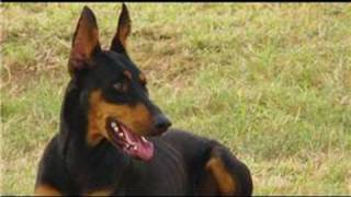 Dog Breeds&Dog Training : How To Care For A Doberman Pinscher