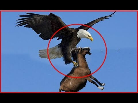 Giant Eagle throws a Goat alive from the sky - Eagle vs Goat