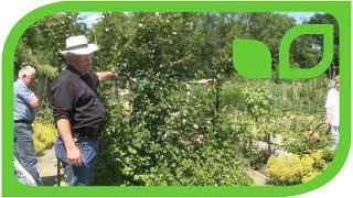 Woher kommen die aufrecht wachsenden Navaho Brombeeren