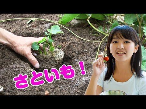 収穫が楽しみ! 家庭菜園 サトイモの育て方 定植  [Home gardening]