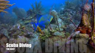 Queen Triggerfish and the school of Atlantic Blue Tangs