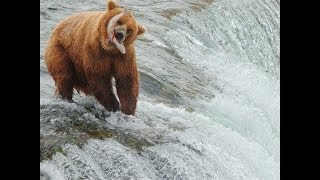 Video Brown Bears salmon fishing at Brooks Falls, Alaska MP3, 3GP, MP4, WEBM, AVI, FLV Agustus 2017