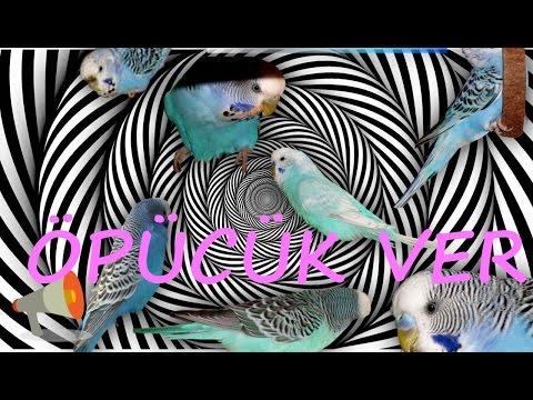 Video Papağan muhabbet kuşu konuşma eğitim ÖPÜCÜK VER Sesi hazır ses kaydı 1 saat download in MP3, 3GP, MP4, WEBM, AVI, FLV January 2017