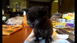 Hungry 4 week old orphaned kitten learning to eat cat food