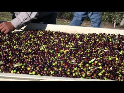 2010 California Olive Harvest, Jordan Winery, Italian Olives, Alexander Valley