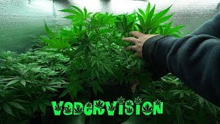 2018 Cali Legal Grow * Day 49 *  Last days of Veg before Flower by VaderVision