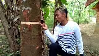 Video Cara Agar Pohon Buah Cepat Berbuah ala Gokil Abis Bajindul MP3, 3GP, MP4, WEBM, AVI, FLV Agustus 2018