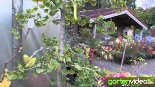 #899 Ginkgo Sorten bei Baumschule Böhlje