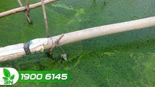 Thủy sản | Ao nuôi cá có nhiều tảo: Nguyên nhân và cách xử lý