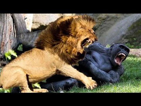 Animal Video National Geographic   KILLER LEGACY Full Lions Documentary 2