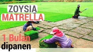 Video Poses Penanaman Rumput Manila (Zoysia matrella) yang Hanya 1 Bulan Siap Panen MP3, 3GP, MP4, WEBM, AVI, FLV Juni 2017