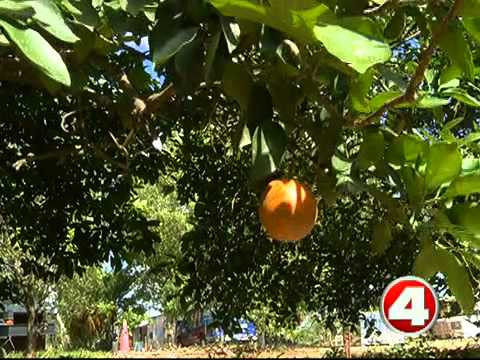 Rain comes too late for some citrus crops