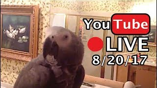 🔴🐦Einstein Parrot LIVE! 8/20/17 In the bathroom, wandering and talking.