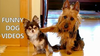 Video *Try Not To Laugh Challenge* Funny Dogs Compilation - Funniest Dog Videos 2017 MP3, 3GP, MP4, WEBM, AVI, FLV Mei 2018