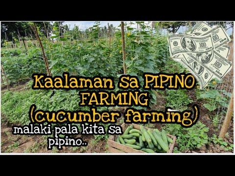 KAALAMAN sa CUCUMBER FARMING ( Pipino) Paano Kumita ng Malaki !!