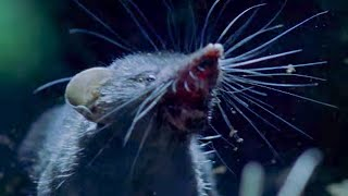 Ferocious Shrews Fight For Mating Rights - Life Of Mammals - BBC Earth