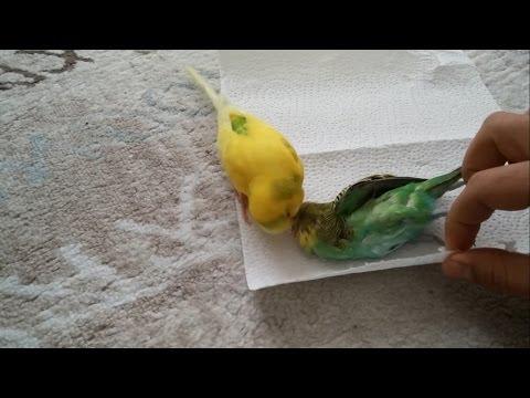 黃色小鸚鵡發現主人要把死去的同伴包起來安葬後,牠…牠下一秒的動作讓人瞬間淚崩。