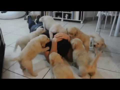 cuccioli di golden retriever all'attacco!