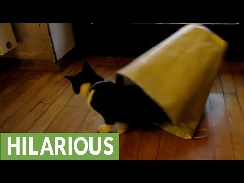 This Cat Learns the Hard Way That Sometimes Paper Bags Fight Back