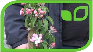 Malini Apfelsäulenbäume auf Schloss Ippenburg