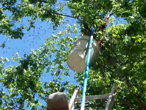HONEYBEE SWARM Catching Georgia Beekeeping pole bucket,Beekeeper John Pluta Beekeepers Bee Hives