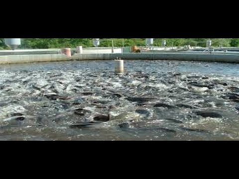 Tilapia and Cachama - Fish farming - English Subtitles - TvAgro By Juan Gonzalo Angel