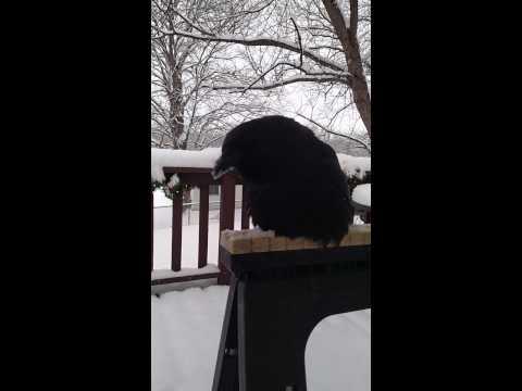 這隻烏鴉壞掉了...你是雞吧 偽裝真差XD