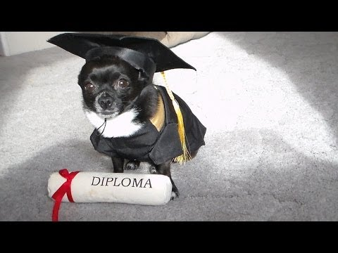 WORLDS SMARTEST DOG CHIHUAHUA #1 video. Counts,Fetches Beer,Gets Remotes,Knows Furniture,Rings Bell