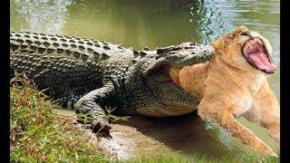 Video The power of Crocodile King, Crocodile destroys the Lion King in 10 second MP3, 3GP, MP4, WEBM, AVI, FLV Maret 2019