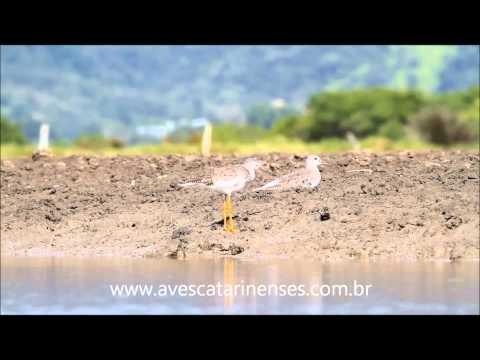 Maçarico-de-perna-amarela - Cristiano Voitina