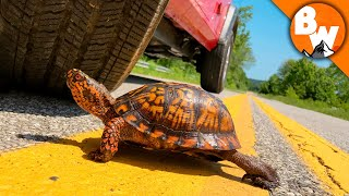 Click to Rescue this Turtle from Traffic! by Brave Wilderness