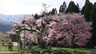 【HD】山形県 釜ノ越桜と薬師桜 – がんばれ東北!