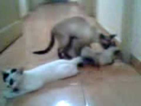 Video Sexo de Gatos - Cat Sex download in MP3, 3GP, MP4, WEBM, AVI, FLV January 2017