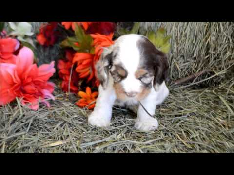 Cowboy AKC Male Chocolate Merle Parti Cocker Spaniel Puppy for sale