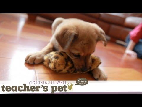 Teach a Puppy to Sit %7C Teacher%27s Pet With Victoria Stilwell