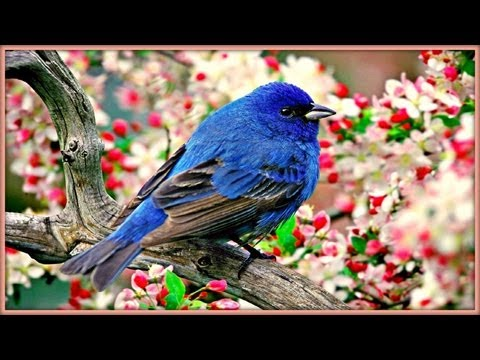 BIRDS - Recording of birds singing at sunrise...