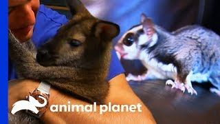 Sugar Glider vs Wallaby: Which Pet Would You Rather Have? | Pets 101 by Animal Planet