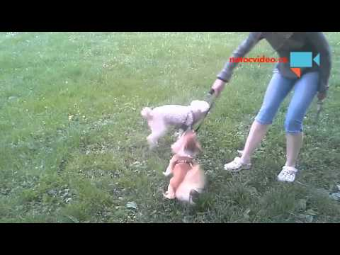 Pes venčici  psa