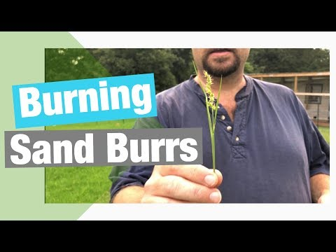 Burning Sand Burrs aka (Devil Weed)!