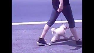 Kanogra's Ellie Marie Toy Poodle Training -Kanogra Kennel-