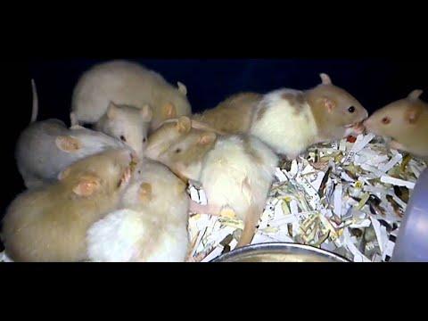 Rat is the kingdom of kings rat rat.