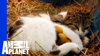 Video A Momma Cat and Her Yellow, Feathered Kittens MP3, 3GP, MP4, WEBM, AVI, FLV Agustus 2017