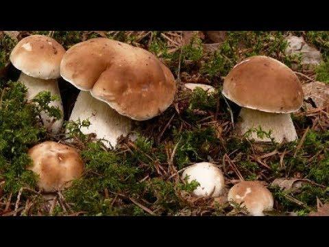 """Выращивание """"Белых"""" грибов на даче"""