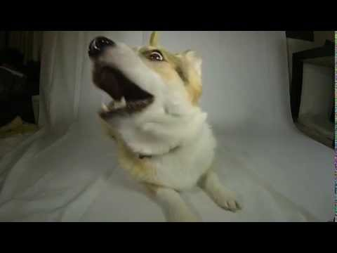 Corgi Noms Treat in Slo-Mo - #HILARIOUS!