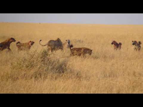 Lion vs Hyenas in the Masai Mara Part 1