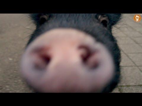 PoPo Pig In Public Prank