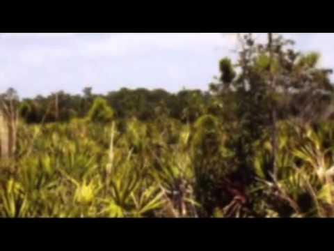 Sägepalme, Serenoa repens (Heilpflanzenportrait)