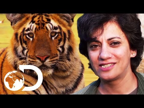 Terrifying Human Attacking Tigers | Living With Man Eaters