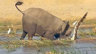 Wściekły słoń zabija krokodyla, chroniąc swoje młode