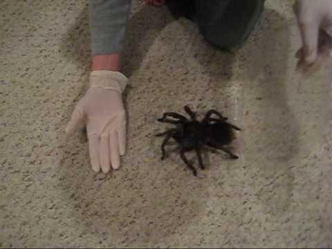 Escuchar El Ruido Que Hace Esta Tarantula...les Dara Escalofrios!